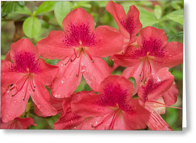 Azalea Blossoms Greeting Card