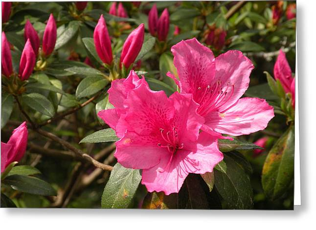 Azalea Greeting Card by Gregory Letts