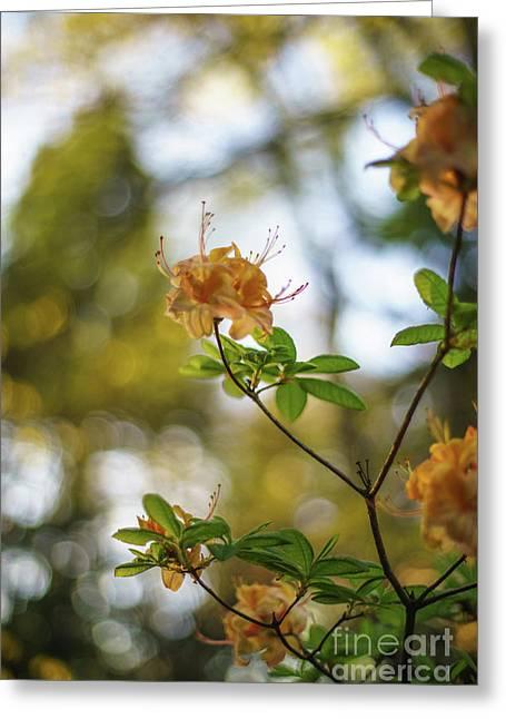 Azaleas And Dusk Blur Greeting Card by Mike Reid