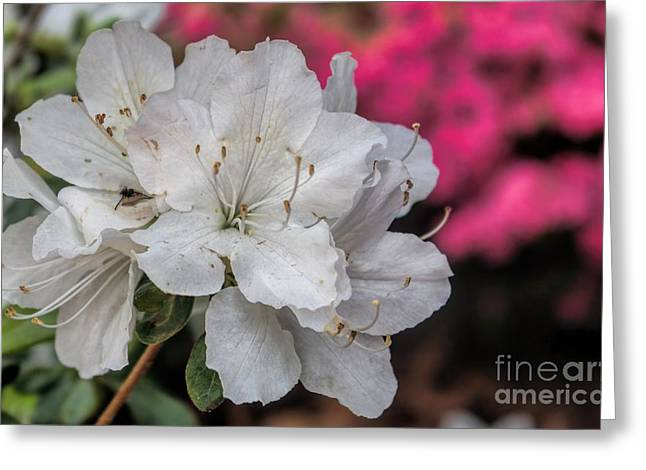Greeting Card featuring the photograph Azaleas In Turtle Creek by Diana Mary Sharpton