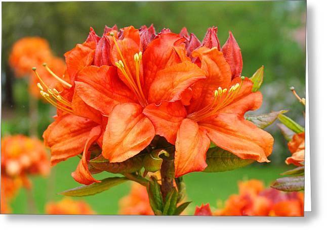 Azaleas Orange Red Azalea Flowers 11 Botanical Giclee Art Baslee Troutman Greeting Card by Baslee Troutman