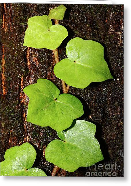 Azores Endemic Hedera Greeting Card