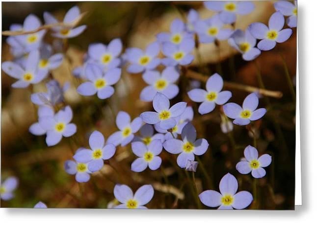 Azure Bluets Greeting Card by Aaron Rushin
