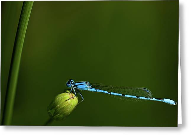 Azure Damselfly-coenagrion Puella Greeting Card