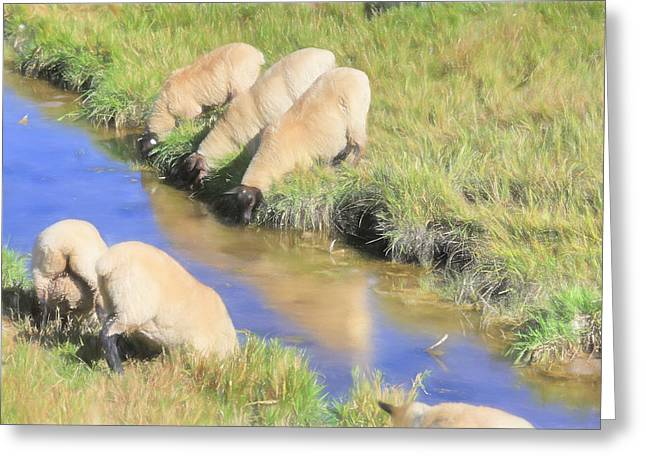 Baaaaack To The Watering Hole Greeting Card by Donna Kennedy