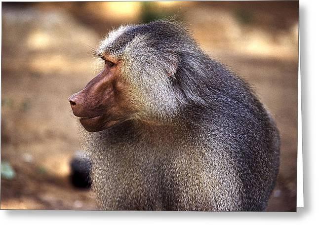 Baboon Greeting Card by Isaac Silman
