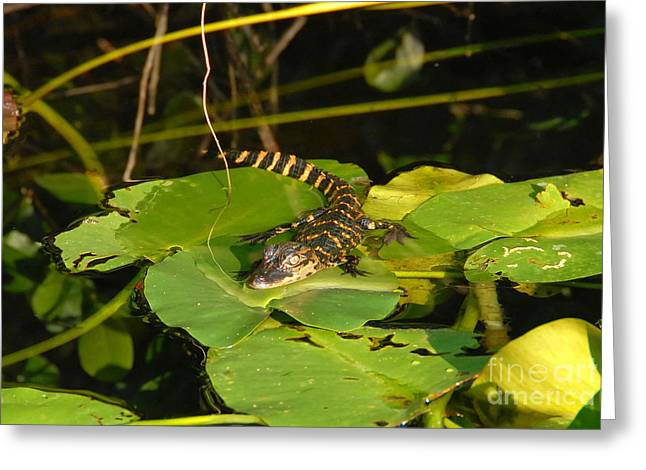 Baby Alligator Greeting Card by David Lee Thompson