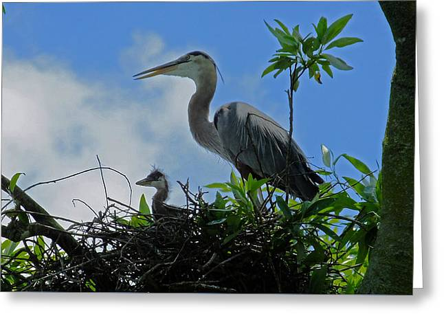 Baby And Mom Great Blue Heron Greeting Card