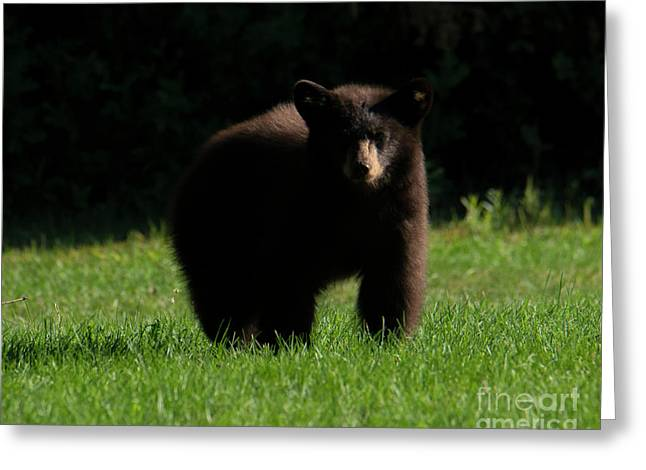 Baby Bear Stare Greeting Card