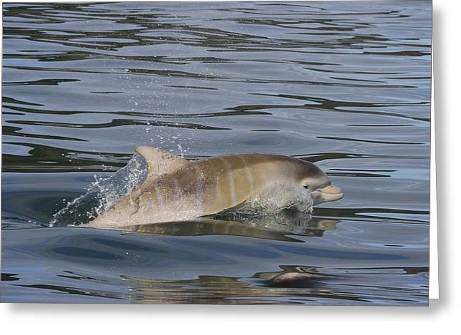 Baby Bottlenose Dolphin - Scotland  #35 Greeting Card