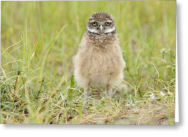 Baby Burrowing Owl Greeting Card by Keith Lovejoy