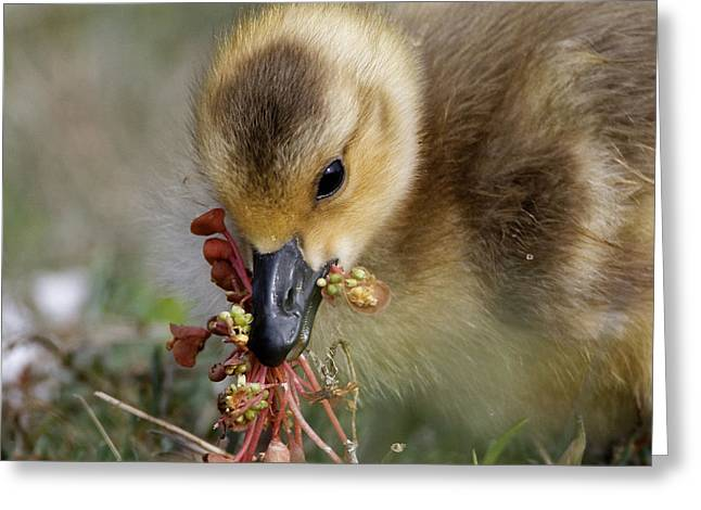 Baby Chick With Water Flowers Greeting Card