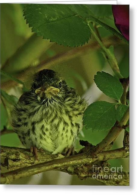 Baby Chipping Sparrow  Greeting Card by Deborah Johnson