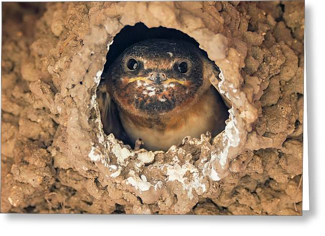 Baby Cliff Swallow Greeting Card by Loree Johnson