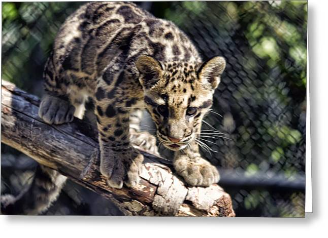 Baby Clouded Leopard Greeting Card by Brad Granger