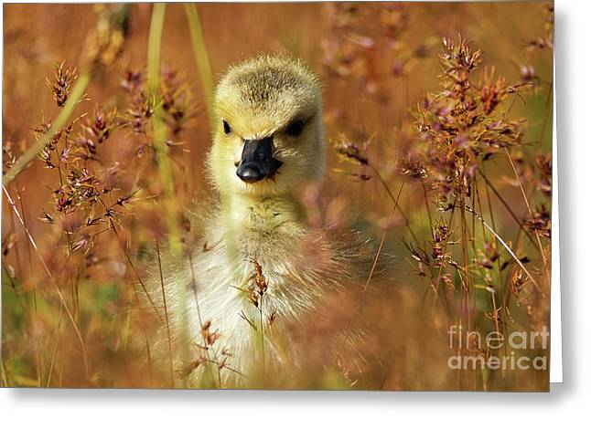 Baby Cuteness - Young Canada Goose Greeting Card