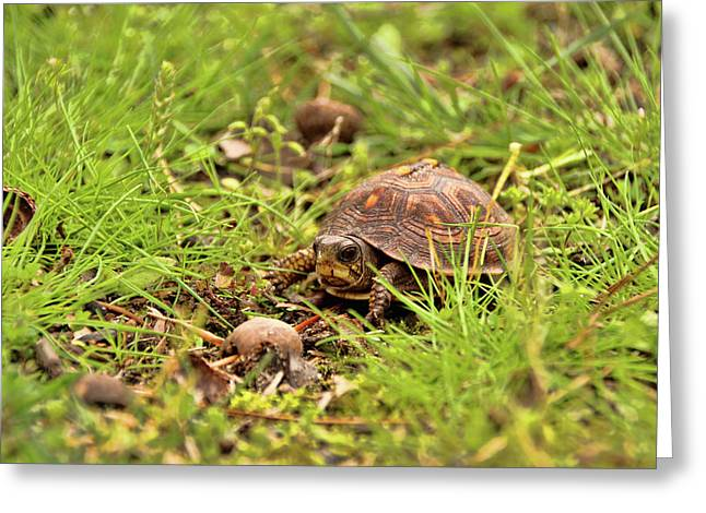 Baby Eastern Box Turtle Greeting Card