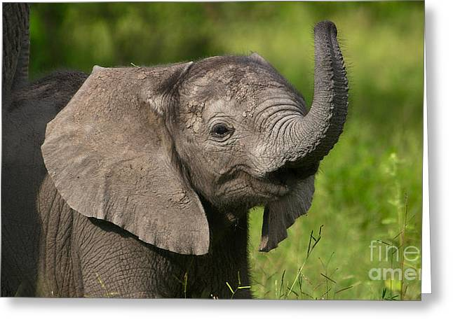 Baby Elephant Smelling Greeting Card