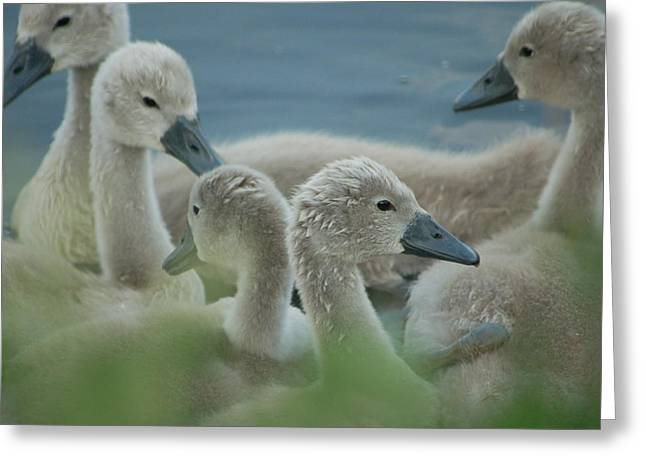 Baby Geese Greeting Card
