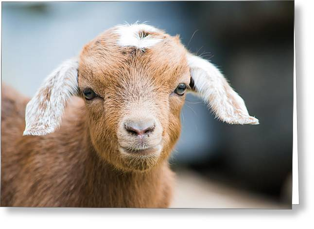 Baby Goat Horizontal Greeting Card by Shelby Young
