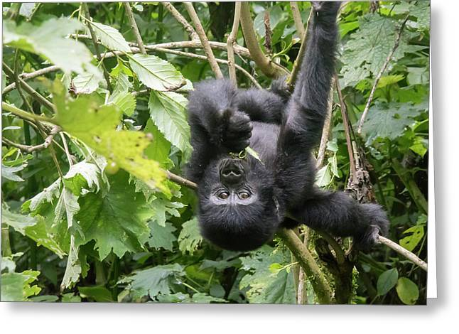 Baby Gorilla Hanging Upside Down. Bwindi Impenetrable Forest Nat Greeting Card