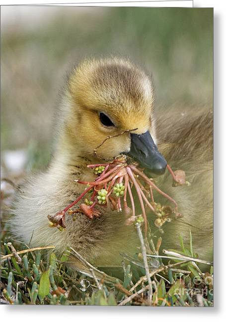 Baby Gosling Collecting Flowers Greeting Card