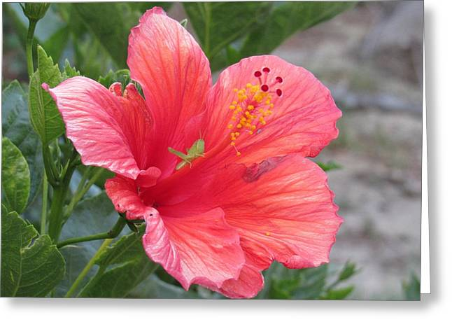 Greeting Card featuring the photograph Baby Grasshopper On Hibiscus Flower by Nancy Nale
