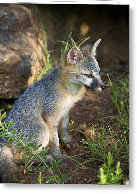 Baby Gray Fox Resting On Bluff Side Greeting Card