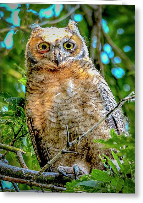 Baby Great Horned Owl Greeting Card