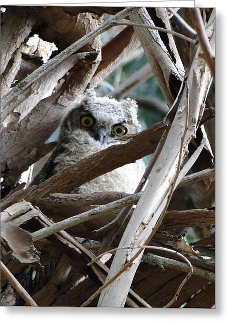 Baby Horned Owl Greeting Card