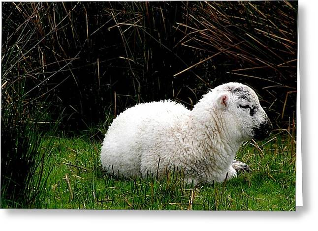 Baby Lamb Greeting Card by Jeanette Oberholtzer