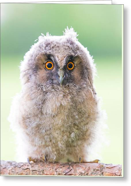Baby Long-eared Owl Greeting Card by Janne Mankinen