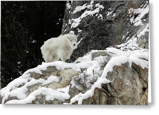 Greeting Card featuring the photograph Baby Mountain Goat by Ronnie and Frances Howard