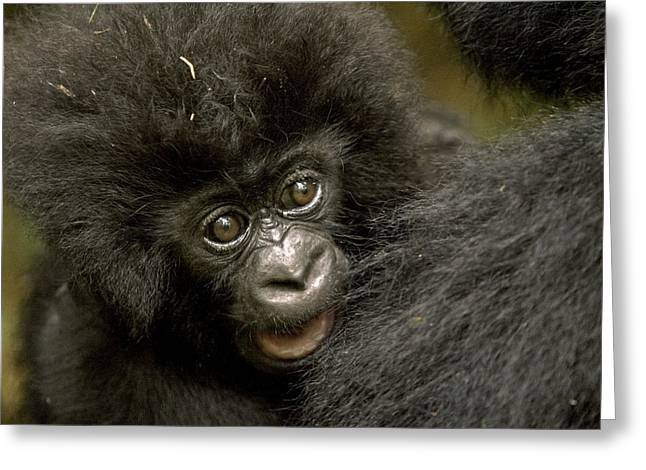 Ape. Great Ape Greeting Cards - Baby Mountain Gorilla  Greeting Card by Ingo Arndt