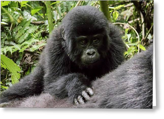 Baby Mountain Gorilla On Mother's Back, Bwindi Impenetrable Fore Greeting Card
