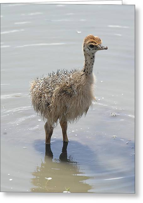 Baby Ostrich Greeting Card by Keith Lovejoy