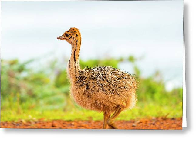 Baby Ostrich Greeting Card by Tim Hester
