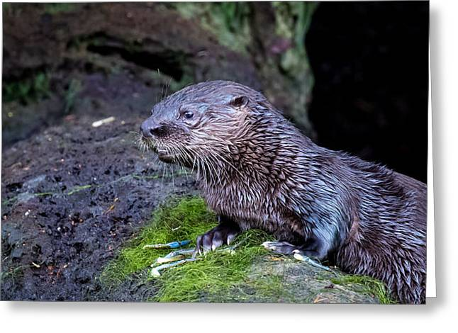 Greeting Card featuring the photograph Baby Otter by Kelly Marquardt
