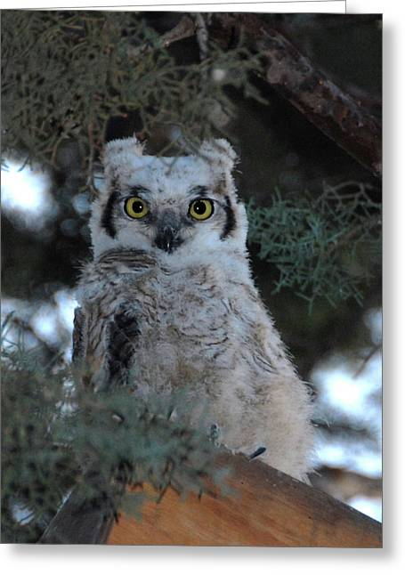 Baby Owlet  Greeting Card by Bill Hyde