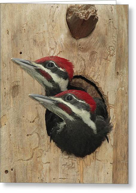 Pileated Woodpecker Greeting Cards - Baby Pileated Woodpeckers Peer Greeting Card by George Grall