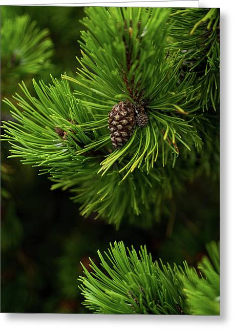 Baby Pine Cone Greeting Card