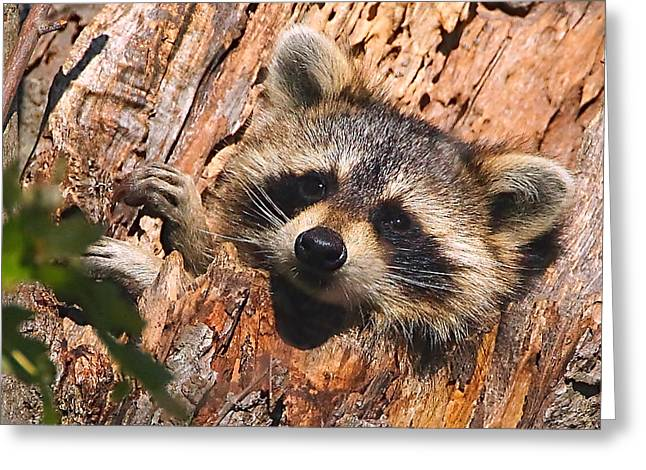 Raccoon Greeting Cards - Baby Raccoon Greeting Card by William Jobes