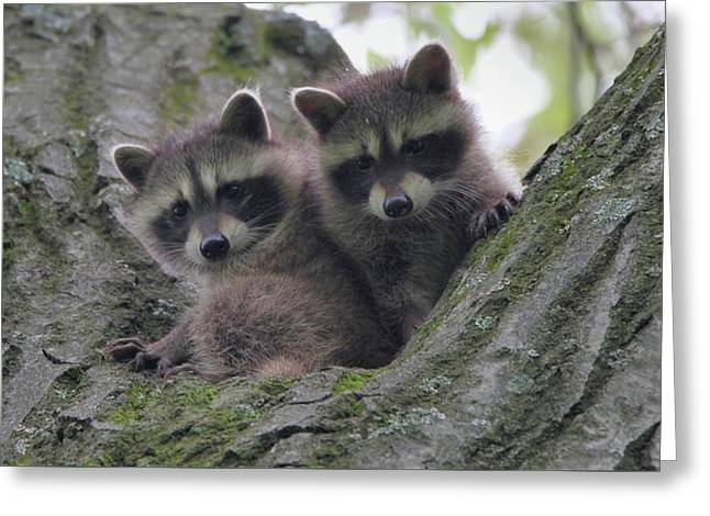 Baby Raccoons In A Tree Greeting Card