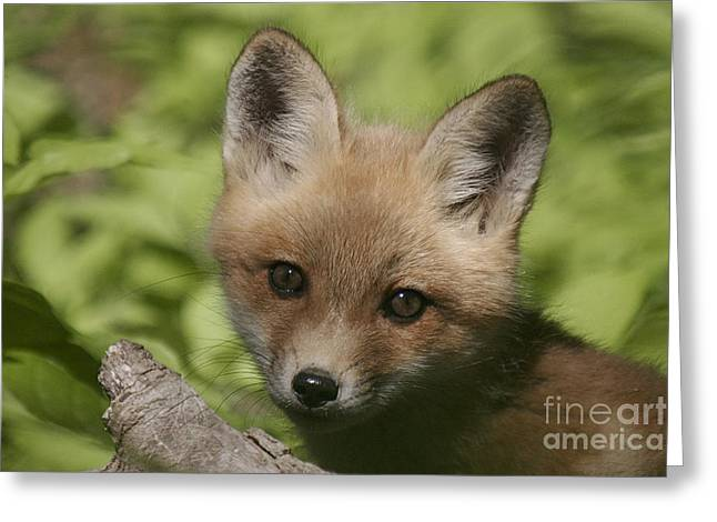 Baby Red Fox Greeting Card by Robert Pearson