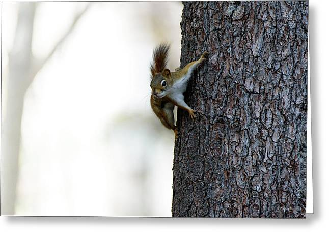 Baby Red Squirrel Greeting Card by Bob Orsillo