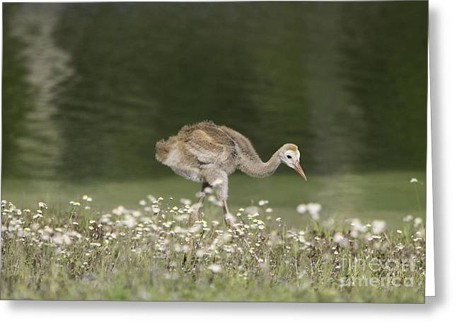 Baby Sandhill Crane Walking Through Wildflowers Greeting Card