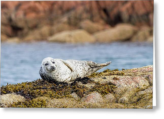 Baby Seal In Mull, Scotland Greeting Card by Mr Bennett Kent