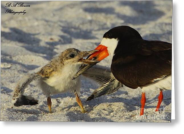 Birdwatching. B A Bowen Photography Greeting Cards - Baby Skimmer Feeding Greeting Card by Barbara Bowen