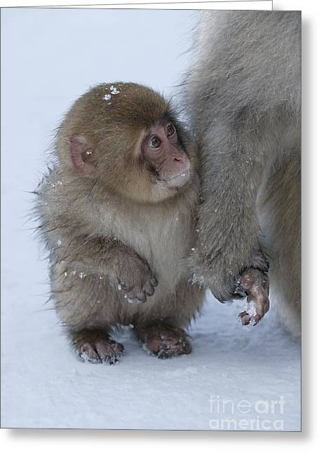 Baby Snow Monkey Greeting Card by Jean-Louis Klein & Marie-Luce Hubert