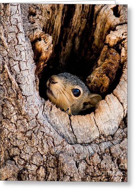 Baby Squirrel In Nest Greeting Card by Betty LaRue